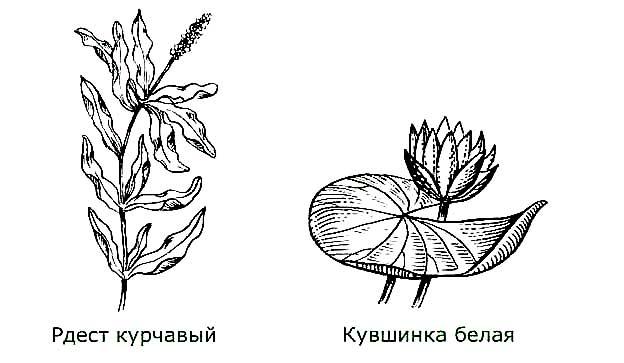 Среди водорослей можно найти рыбу изображение